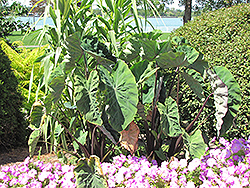 Black Stem Elephant Ear (Colocasia fontanesii) at The Mustard Seed