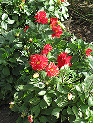 Figaro™ Red Shades Dahlia (Dahlia 'Figaro Red Shades') at The Mustard Seed