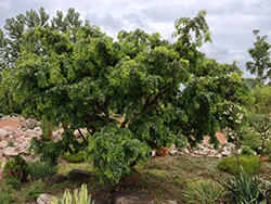 Twisted Baby® Black Locust (Robinia pseudoacacia 'Lace Lady') at The Mustard Seed