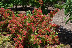 Sonic Bloom Red® Reblooming Weigela (Weigela florida 'Verweig 6') at The Mustard Seed