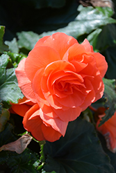 Nonstop® Deep Salmon Begonia (Begonia 'Nonstop Deep Salmon') at The Mustard Seed