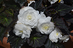 Nonstop® Mocca White Begonia (Begonia 'Nonstop Mocca White') at The Mustard Seed