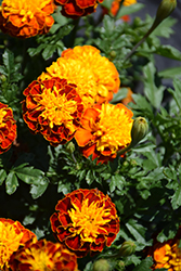 Janie Spry Marigold (Tagetes patula 'Janie Spry') at The Mustard Seed