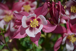 Origami Rose And White Columbine (Aquilegia 'Origami Rose And White') at The Mustard Seed