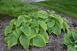 Victory Hosta (Hosta 'Victory') at The Mustard Seed