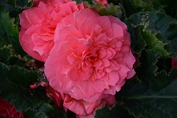Nonstop® Pink Begonia (Begonia 'Nonstop Pink') at The Mustard Seed