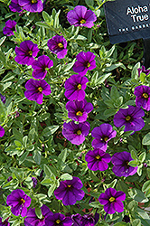 Aloha Kona True Blue Calibrachoa (Calibrachoa 'Aloha Kona True Blue') at The Mustard Seed