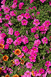 Superbells® Pink Calibrachoa (Calibrachoa 'Superbells Pink') at The Mustard Seed