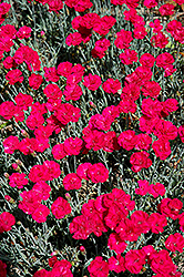 Frosty Fire Pinks (Dianthus 'Frosty Fire') at The Mustard Seed