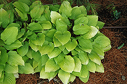 Fire Island Hosta (Hosta 'Fire Island') at The Mustard Seed
