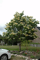 Japanese Tree Lilac (Syringa reticulata) at The Mustard Seed