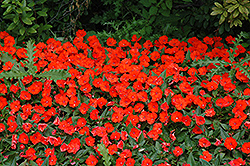 SunPatiens® Compact Electric Orange New Guinea Impatiens (Impatiens 'SunPatiens Compact Electric Orange') at The Mustard Seed