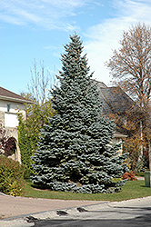 Baby Blue Blue Spruce (Picea pungens 'Baby Blue') at The Mustard Seed