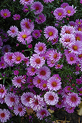 Purple Dome Aster (Aster novae-angliae 'Purple Dome') at The Mustard Seed