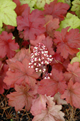 Fire Alarm Coral Bells (Heuchera 'Fire Alarm') at The Mustard Seed
