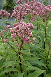 Baby Joe Dwarf Joe Pye Weed (Eupatorium dubium 'Baby Joe') at The Mustard Seed