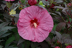 Summerific® Berry Awesome Hibiscus (Hibiscus 'Berry Awesome') at The Mustard Seed