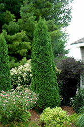North Pole® Arborvitae (Thuja occidentalis 'Art Boe') at The Mustard Seed