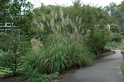 Pampas Grass (Erianthus ravennae) at The Mustard Seed