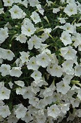Supertunia® White Petunia (Petunia 'Supertunia White') at The Mustard Seed