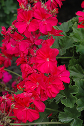 Calliope® Hot Pink Geranium (Pelargonium 'Calliope Hot Pink') at The Mustard Seed