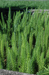 Mare's Tail (Hippuris vulgaris) at The Mustard Seed