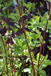 Bailey Red-Twig Dogwood (Cornus baileyi) at The Mustard Seed