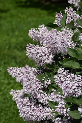 Miss Kim Lilac (Syringa patula 'Miss Kim') at The Mustard Seed