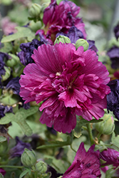 Queeny Purple Hollyhock (Alcea rosea 'Queeny Purple') at The Mustard Seed