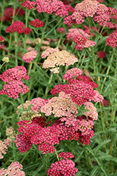 Angelique Yarrow (Achillea millefolium 'Angelique') at The Mustard Seed