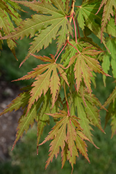North Wind® Japanese Maple (Acer 'IsINW') at The Mustard Seed