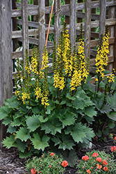 Little Rocket Rayflower (Ligularia 'Little Rocket') at The Mustard Seed