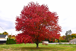 Red Maple (Acer rubrum) at The Mustard Seed