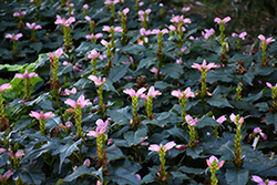 Hot Lips Turtlehead (Chelone lyonii 'Hot Lips') at The Mustard Seed