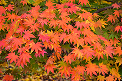Japanese Maple (Acer palmatum) at The Mustard Seed
