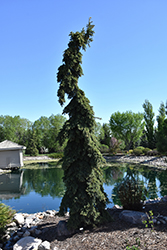 Weeping White Spruce (Picea glauca 'Pendula') at The Mustard Seed