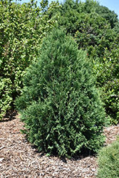Technito® Arborvitae (Thuja occidentalis 'Bailjohn') at The Mustard Seed