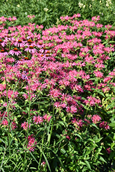 Coral Reef Beebalm (Monarda didyma 'Coral Reef') at The Mustard Seed