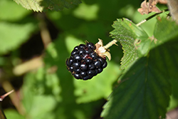 Jewel Black Raspberry (Rubus occidentalis 'Jewel') at The Mustard Seed
