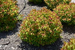 Double Play Big Bang® Spirea (Spiraea 'Tracy') at The Mustard Seed