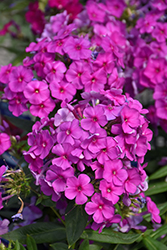 Purple Flame Garden Phlox (Phlox paniculata 'Purple Flame') at The Mustard Seed
