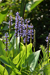 Pickerelweed (Pontederia cordata) at The Mustard Seed