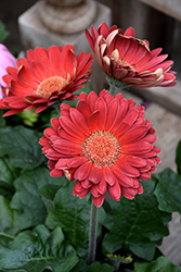 Red Gerbera Daisy (Gerbera 'Red') at The Mustard Seed