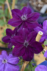 Amethyst Beauty Clematis (Clematis 'Amethyst Beauty') at The Mustard Seed