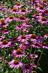 PowWow Wild Berry Coneflower (Echinacea purpurea 'PowWow Wild Berry') at The Mustard Seed