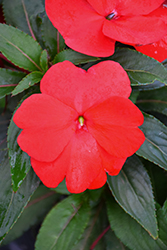 Super Sonic® Red New Guinea Impatiens (Impatiens hawkeri 'Super Sonic Red') at The Mustard Seed