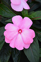 Super Sonic® Pastel Pink New Guinea Impatiens (Impatiens hawkeri 'Super Sonic Pastel Pink') at The Mustard Seed