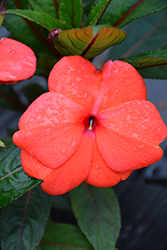 Super Sonic® Dark Salmon New Guinea Impatiens (Impatiens hawkeri 'Super Sonic Dark Salmon') at The Mustard Seed