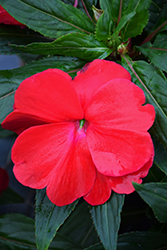 Sonic® Red New Guinea Impatiens (Impatiens 'Sonic Red') at The Mustard Seed